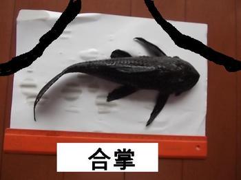 金魚ご臨終合掌.jpg